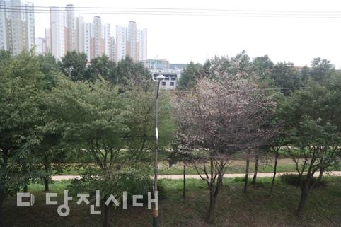 낙엽 지는 가을에 벚꽃이…'시절' 같은 벚꽃?